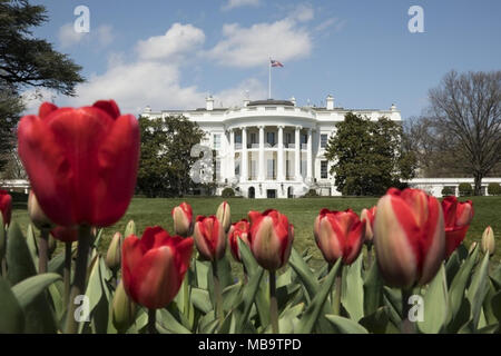 WASHINGTON, DC - WEEK OF April 05: Blooming red tulips are seen in the gardens of the South Lawn of the White House, Thursday, April 5, 2018, in Washington, D.C. The White House Spring Garden Tour is scheduled for the weekend of April 14th and 15th, 2018.    People:  President Donald Trump - Stock Photo