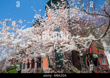 Washington, USA. 8th April, 2018, Cherry tree in peak bloom, 17th and Q Streets NW Credit: Tim Brown/Alamy Live News - Stock Photo