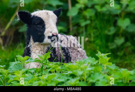 Keynsham. UK. 9th April, 2018. Day old Jacob Lambs signify spring is on the way, Monday 9 April 2018 as the ewes give birth at Avon Valley Adventure and Wildlife Park near Keynsham, Somerset. Jacob sheep are a British breed of domestic sheep  and combines two characteristics unusual in sheep,  piebald dark-coloured with areas of white wool. Credit: Paul Gillis/Alamy Live News - Stock Photo
