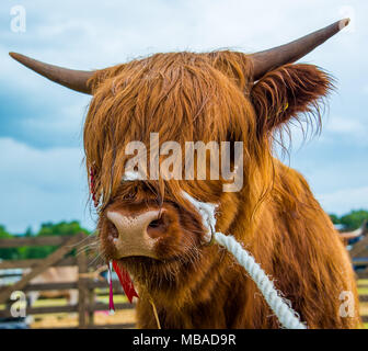 A prize winning highland cow at a local country show in Scotland - Stock Photo