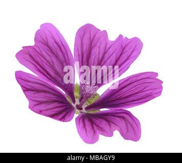 Mallow flower  (Malva Sylvestris) isolated on white background - Stock Photo