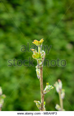 Fresh spring growth on Johannisbeeren, AKA red currants, gooseberries, Ribes rubrum - Stock Photo