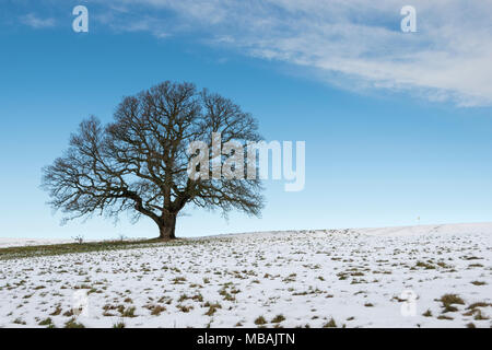 Lone oak tree standing against a blue sky on snow covered grass, Ashton Court, Bristol - Stock Photo