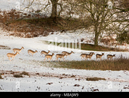A herd of fallow deer in the snowy grounds of Ashton Court near Bristol. - Stock Photo