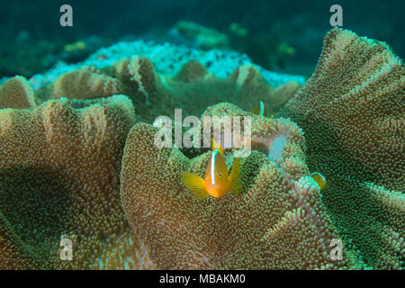 Beautiful anemones and orange anemonefishes (Amphiprion sandaracinos). Picture was taken in the Ceram sea, Raja Ampat, West Papua, Indonesia