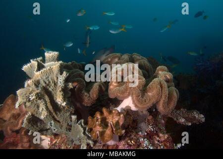 Beautiful soft  corals in the Ceram sea, Raja Ampat, West Papua, Indonesia - Stock Photo