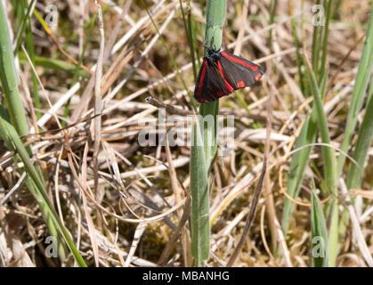 Cinnabar moth or Tyria jacobaeae resting - Stock Photo