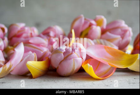 closeup of pink Dutch tulip, surrounded by petals on wooden backdrop - Stock Photo
