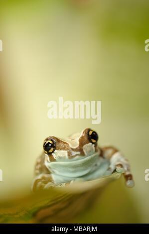 Mission golden-eyed tree frog walking on leaf - Stock Photo