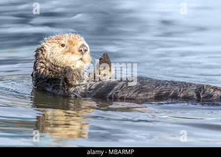 Curious Sea Otter (Enhydra lutris) floating in Santa Cruz Harbor.