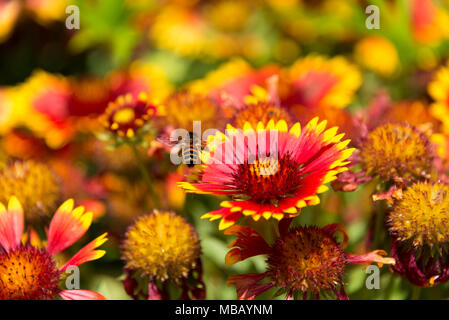 bee in the yellow and red flower in the garden in sun - Stock Photo