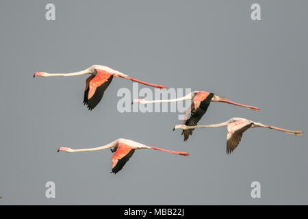 The greater flamingo (Phoenicopterus roseus) found around Pune at Bhigwan Bird Sanctuary, Maharashtra, India. - Stock Photo