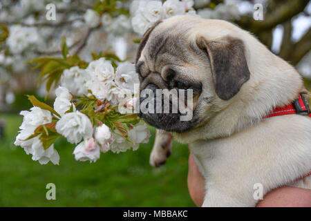 Close up of Pug Puppy in front of tree blossom flowers - Stock Photo