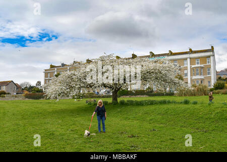 Pug dog being walked infront of a large blossom tree - Stock Photo