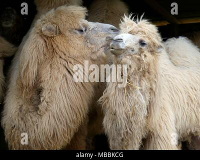 A pair of fluffy camels look like they're kissing - Stock Photo