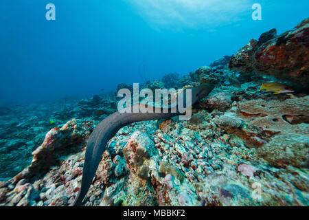 yellow spotted moray eel, Gymnothorax moringa, free swimming across coral reef - Stock Photo
