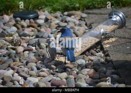 Stellar Jay taking advantage of a bird feeder that fell down and spilled the bird seed - Stock Photo