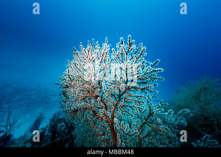 White polyps extended from red branching coral colony,  Millepora alcicornis,  with blue sea background - Stock Photo