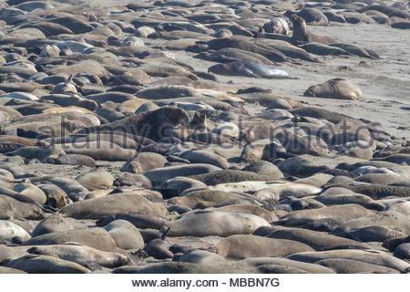 Hundreds of elephant seals (Mirounga angustirostris) fill the beach at the Piedras Blancas Elephant Seal Rookery near San Simeon, California. Elephant - Stock Photo
