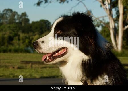 Border Collie portrait - Stock Photo