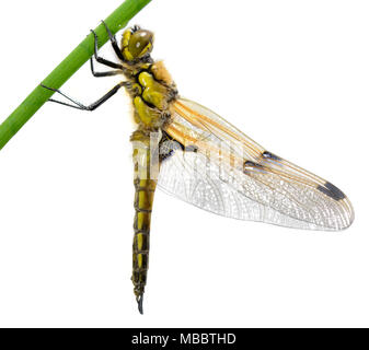 Four-spotted Chaser - Libellula quadrimaculata - Stock Photo