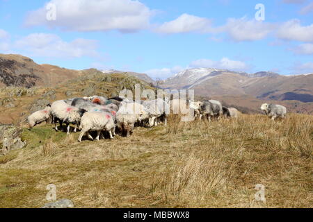 Feeding Frenzy. Sheep on the Cumbrian Fells gather to feed prior to being rounded up. Snow is on the higher Helvellyn range in the distance. - Stock Photo