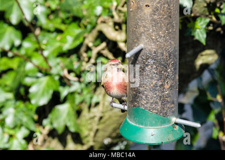 Colourful male Common Linnet (Carduelis cannabina) finch in spring plumage on a garden bird feeder in a hedgerow. North Wales, UK, Britain - Stock Photo
