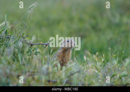 European ground squirrel standing on the meadow and watching, blurred background - Stock Photo