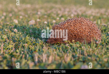 European hedgehog on green grass with blurred green background. - Stock Photo
