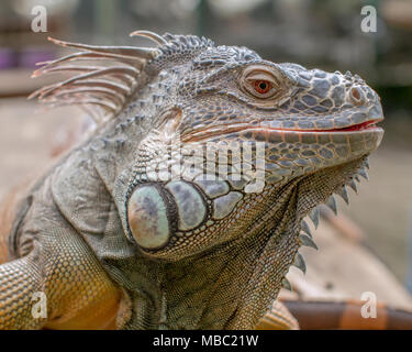 A lovely Iguana enjoy the warm day sun baking and have a nice posed to the camera - Stock Photo