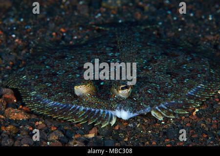 Wide-eyed flounder (Bothus podas) portrait in Mar de las Calmas Marine Reserve (El Hierro, Canary Islands, Spain) - Stock Photo