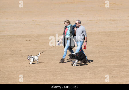 couple walking dogs on a sandy beach in cornwall, england, britain, uk. - Stock Photo