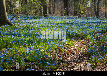 Blue flowers of the Scilla Squill blooming.  Bright spring flower of Scilla Bifolia in forest - Stock Photo
