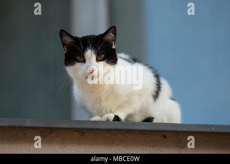 A black and white cat looking down from the top of a wall in Berlin, Germany. - Stock Photo