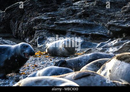 Herd of Atlantic Grey Seals Halichoerus Grypus - Stock Photo