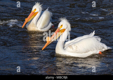A pair of American white pelicans (Pelecanus erythrorhynchos) in breeding plumage on water during a windy day, Saylorville, Iowa, USA - Stock Photo