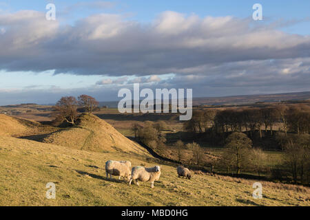 Hadrian's Wall in winter - sheep on Walltown Crags with beyond, a pair of beech trees on a hillock near King Arthur's Well, close to Walltown Farm - Stock Photo