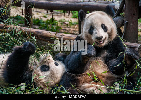 A Giant Panda in an enclosure at Chengdu Research Base of Giant Panda Breeding in China - Stock Photo