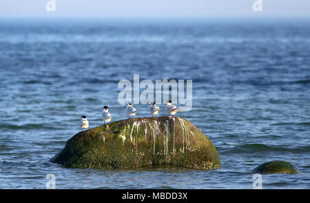 Sandwich terns standing on a large rock by Brondby beach, Denmark - Stock Photo