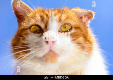 A magnificent red cat with yellow eyes close up on a blue sky background 2018 - Stock Photo