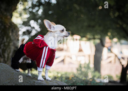A dog in a tracksuit on a walk - Stock Photo
