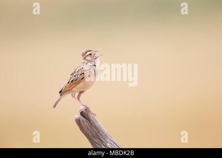 Crested Lark, Galerida cristata, singing whilst perched on the tip of a dead branch - Stock Photo