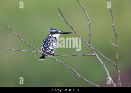 Pied Kingfisher, Ceryle rudis, perched on a branch with head in profile - Stock Photo