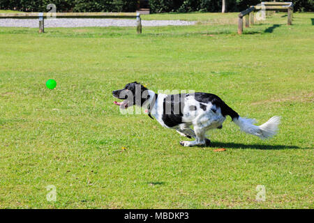 An adult Black and White English Springer Spaniel (Canis lupus familiaris) dog running fast chasing a ball outside in a park. England, UK, Britain - Stock Photo