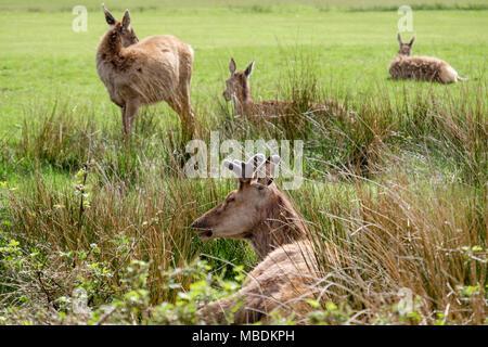 Red deer (Cervus elaphus) grazing and resting on the golf course. Lochranza, Isle of Arran, North Ayrshire, Scotland, UK, Britain - Stock Photo