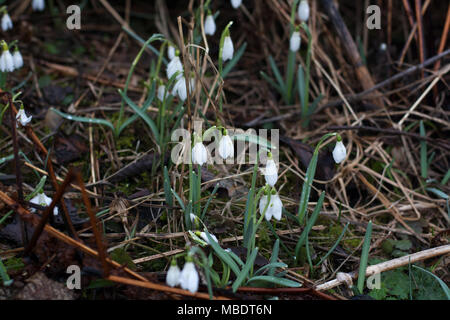 Blossoming snowdrop flowers covered with dew drops on mountains forest lawn - Stock Photo