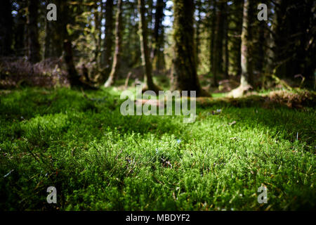 Sunlight shines on green moss on the forest floor between evergreen pine trees - Stock Photo