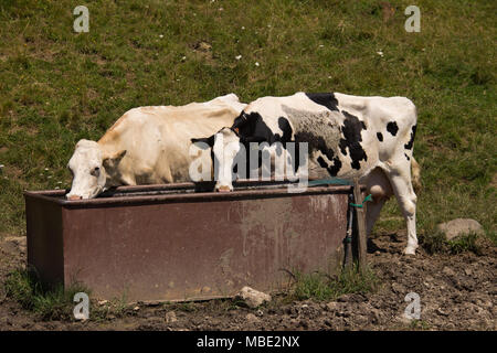 Two cows (bos taurus) drinking from a trough in the hills near San Valentino, Trentino, Italy - Stock Photo