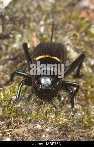An adult female Field Cricket (Gryllus campestris) on a rock in Italy - Stock Photo