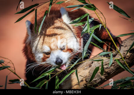 A Red Panda (Ailurus fulgens) in a tree. - Stock Photo